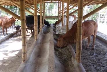 estabulación de ganado bovino