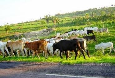 modalidades de abigeato en Colombia, modalidades de robo de ganado en Colombia, ganaderos de Colombia expuestos a la delincuencia, Dicar y Polfa trabajan para frenar el abigeato