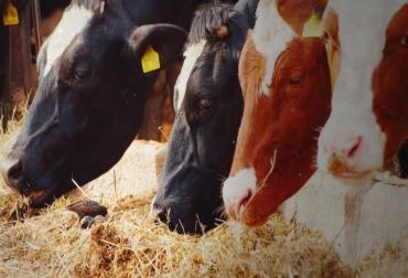 vitaminas ganado vacas
