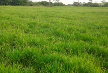 pastos mulato II y cayman ganadería