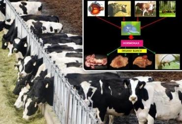 hormonas en vacas