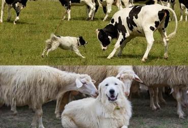 ovinos y perros en el sector ganadero