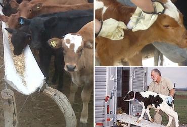 Ganado de ceba, engorde de ganado, factores importantes en la finalización de ganado de ceba, 3 factores a tener en cuenta en la finalización del ganado de ceba, alimentación sanidad transporte, rentabilidad de la empresa ganadera, CONtexto ganadero, ganaderos Colombia