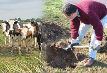 entierro de bovinos en la finca, muerte de bovinos en la finca, disposición del cuerpo de un bovino muerto, análisis de la muerte del bovino, causas de muerte en bovinos, uso de cal al enterrar bovinos, manejo animal, CONtexto ganadero