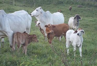 Sistemas de cría de terneros, sistemas de crianza de terneros, sistema natural crianza, sistema vaca nodriza, sistema artificial crianza, ventajas y desventajas de sistemas de crianza, formas de criar terneros, aspectos sistemas de crianza terneros, CONtexto ganadero, ganaderos Colombia