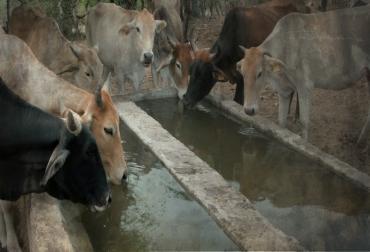 consumo de agua en bovinos, fuentes de agua en fincas, calidad del agua, ganadería sin agua, ganaderos de colombia, manejo del agua, CONtexto ganadero