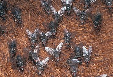 Control mosca de los cuernos, mosca de los cuernos, estrategias de control de plagas, control de moscas, control integral biológico, estrategias control mosca de los cuernos, presencia artróprodos, formas de eliminar mosca de los cuernos, afectaciones mosca de los cuernos, CONtexto ganadero, ganaderos Colombia