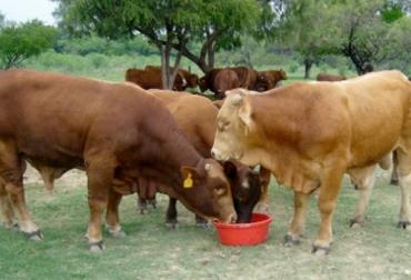 suplementos líquidos para bovinos, probióticos para bovinos, digestibilidad bovina, eficiencia de la microflora bacteriana de los bovinos, absorción de nutrientes, alimentación bovina, manejo animal, médico veterinario, CONtexto ganadero