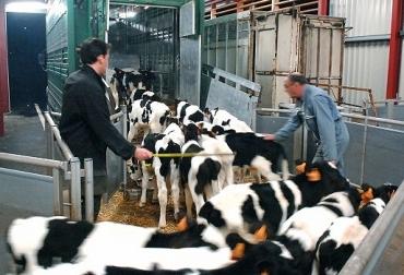 transporte de terneros, terneros destetos, bienestar animales, Salud Animal, manejo animal, CONtexto ganadero