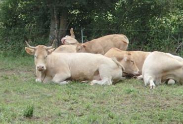 Sueño en vacas, sueño de las vacas, confort en las vacas, ordeño de las vacas, permitir sueño ayuda lactogénesis, vacas necesitan sueño, estrés en bovinos, rutinas de ordeño, comportamiento de las vacas, horario de ordeño, estrés en vacas, bienestar animal, CONtexto ganadero, ganaderos Colombia