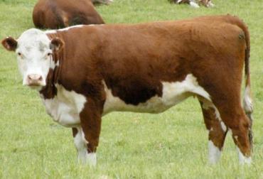 obstrucción en el tránsito intestinal, dificultad para defecar en bovinos, manejo animal. salud animal, CONtexto ganadero