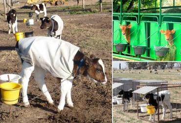 instalaciones para la cría de terneros, crianza de terneros, sala cunas para terneros, jaulas móviles para ternero, crianza de ternero en estaca, manejo animal, sanidad animal, CONtexto ganadero