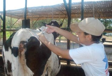 vías de administración de medicamentos en bovinos, medicamentos en bovinos, intravenosa o endovenosa, intramuscular, subcutánea, intraruminal, oral, rectal, intramamaria, intrauterina, médico veterinario, CONtexto ganadero