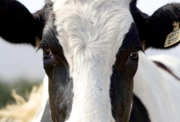 conducta animal de los bovinos, comportamiento de los bovinos, manejo animal, etología animal, visión bovina, buenas prácticas de manejo animal. CONtexto ganadero