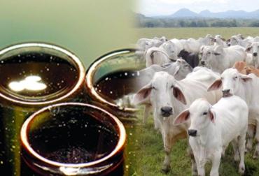 Recomendaciones para suministrar glicerol al ganado de carne, glicerol ganadería Colombia, glicerol ganadería de carne Colombia, glicerol ganadería de ceba Colombia, glicerol reemplaza melaza, glicerol suplemento bovino, glicerol suplemento de energía, CONtexto ganadero, ganaderos Colombia