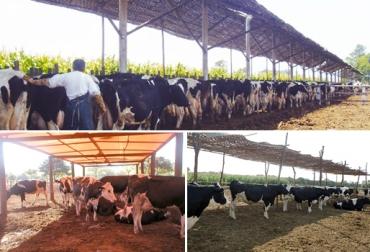 bienestar animal, confort para los bovinos, sombra para los bovinos, sistemas silvopastoriles, alternativas para brindar sombra para el ganado, CONtexto ganadero