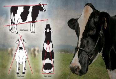 vacas lecheras, cuñas de las vacas lecheras, apariencia de la vaca lechera, características de la vaca lechera, evaluación lineal de los bovinos, CONtexto ganadero