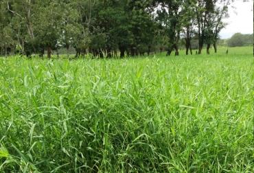 pasturas, pasturas adecuadas para ganadería, pastos para producción ganadera, forrajes para el ganado, semillas para ganadería, semillas para pasturas, pasturas ganaderas, ganadería colombia, contexto ganadero