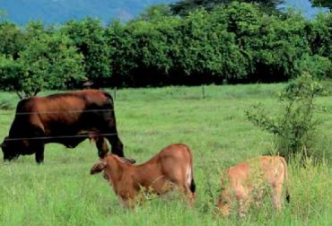 Nutrición terneros, terneros de levante, Carta Fedegán, Yesid Tobías Bejarano Clavijo MVZ, CONtexto ganadero, ganadería Colombia