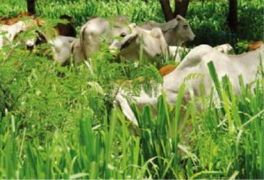 CIPAV, Establecimiento y manejo de sistemas Silvopastoriles intensivos con leucaena, Ganadería colombiana sostenible, Enrique Murgueitio y otros, CONtexto ganadero, ganadería Colombia