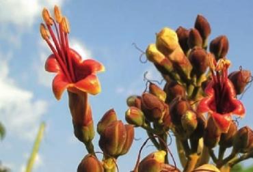 El nacedero, planta forrajera, CIPAV, Carta Fedegán 117, Fedegán, CONtexto ganadero, ganadería Colombiana