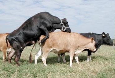 Parámetros reproductivos en ganadería, parámetros reproductivos en bovinos, fertilidad, intervalo de partos, parámetros reproductivos Colombia Fedegán, índices reproductivos Colombia Fedegán, CONtexto ganadero, ganaderos Colombia