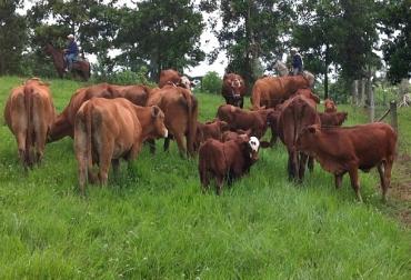 beefmaster, yaruma, habilidad materna,mas demanda que oferta, mansedumbre, santander, mejoramiento genetico, CONtextoganadero