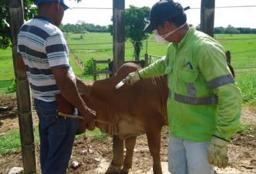Ciclo, Ciclo vacunación 2017, vacunación contra la aftosa, ciclo de vacunación contra la fiebre aftosa, ica, ica colombia, ganadería colombia, sanidad animal, noticias ganaderas colombia, contexto ganadero