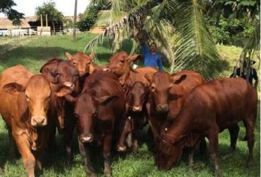 beefmaster, gemelos, machos, vaca 097-N2, embrión americano, tercer parto, Agroexpo, Agroindustrial Las Américas, CONtexto ganadero