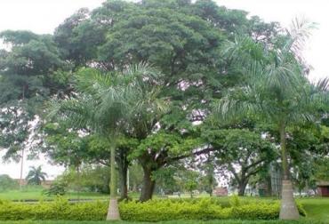Árbol Caracolí, 30 a 35 metros, 7,5 m de circunferencia, bosques de galería, suelos arenosos, cerca de corrientes subterráneas de agua, CONtexto Ganadero, noticias de ganadería colombiana.