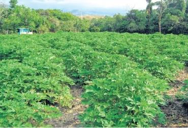 Bancos Mixtos de Forrajes, Fedegan Bancos Mixtos de forrajes, Cómo se hace un BMF, fuentes de proteína  en un BMF, fuentes de energía en un BMF,CONtexto ganadero, ganadería Colombia, Noticias ganaderas Colombia