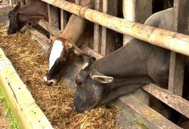 Caña de azúcar, bovinos, alimentación de bovinos, caña de azúcar para alimentación de bovinos, potencial de la caña de azúcar para la alimentación de bovinos, CONtexto ganadero, ganadería Colombia, Noticias ganaderas Colombia