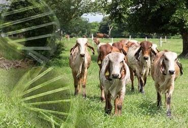Programa de desarrollo ganadero en el Tolima, Comité de ganaderos del Tolima atiende cien ganaderías, Comité de ganaderos del Tolima insemina 300 hembras, parcelas demostrativa silvopastoriles en 30 ganaderías, CONtexto Ganadero, noticias de ganadería colombiana.