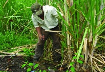 La caña de azúcar como fuente energética en los BMF, Bancos mixtos de forrajes (BMF). BMF, caña de azúcar como fuente energética en los BMF, Fedegán, CONtexto ganadero, ganadería Colombia, Noticias ganaderas Colombia