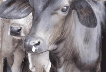 neumonía, neumonía enzoótica en bovinos, manejo de la Neumonía enzoótica, buenas prácticas para el control y prevención de la neumonía enzoótica, CONtexto ganadero, ganadería colombia, noticias ganaderas colombia