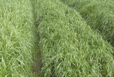 Raigrás entre 25 y 35 días, monocultivo, mezclado con kikuyo 45 días, balance, crecimiento mayor es perdidas de nutrientes, aprovechamiento, CONtexto Ganadero, noticias de ganadería colombiana.