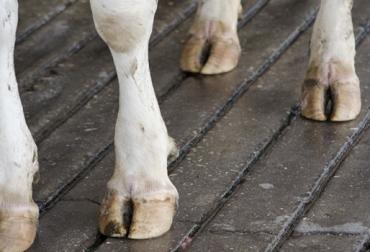 Lesiones no infecciosas en pezuñas de bovinos, Línea blanca pezuña bovinos, úlcera, abscesos, enfermedades podales en bovinos, patologías podales en bovinos, afecciones en pezuñas vacas, pezuña tirabuzón en Colombia, ganadería colombia, noticias ganaderas colombia, CONtexto ganadero
