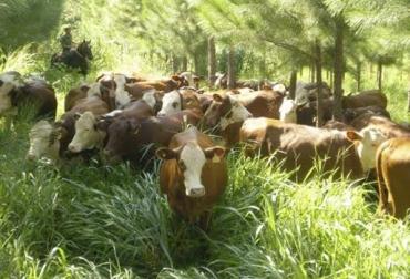 Efectos en bovinos, etología, SSPI, ventajas de silvopastoriles, ingesta en SSPI, disminución de temperatura, aumento de producción, bajo estrés, CONtexto Ganadero, noticias de ganadería colombiana.