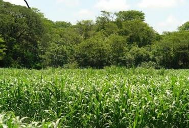 Luminosidad, baja productividad de pastos y gramíneas, radiación solar, calidad y cantidad, diversificación, caballones, CONtexto Ganadero, noticias de ganadería colombiana.