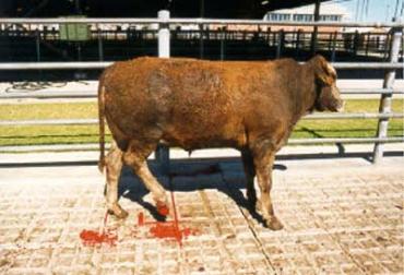 Seis causas de pérdidas en ganado, machucones, pH elevado, decomisos de hígado, daños en el cuero, abscesos, grasa amarilla, estrés, mal manejo, CONtexto Ganadero, noticias de ganadería colombiana.