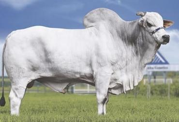Ciclo corto, velocidad productiva, 3 pilares precocidad en crecimiento, precocidad en terminación, precocidad sexual, bajos costos de producción, bovinos de 500 en 24 meses, preñez desde los 10 meses, ganado Nelore, Contexto Ganadero, noticias de ganadería colombiana.