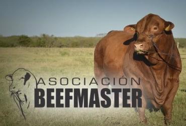 Asociación beefmaster, giras a Estados Unidos y México, transferencia de tecnología, subasta de mejores toros del mundo, ventajas, selección, CONtexto Ganadero, noticias de ganadería colombiana.