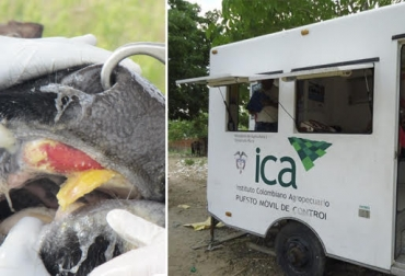 Cómo ICA encontró la aftosa en Sogamoso, compra de dos hembras, programas de vigilancia y control, rastreo animal, animales mayores de seis meses de edad, sin circulación viral, CONtexto Ganadero, noticias de ganadería colombiana.