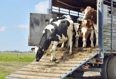 Programa recepción ganado nuevo, Programa recepción ganado, consejos recepción ganado comprado, recibir ganado nuevo, consejos recibir ganado nuevo, recibir bovinos nuevos, bovinos nuevos en la finca, CONtexto ganadero, ganaderos Colombia, noticias ganaderas Colombia