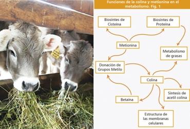 Colina en vacas, suplementación con colina en vacas, qué es la colina en vacas, suplemento colina, propiedades de la colina en vacas, uso de colina en vacas, Aminoácidos, aminoácidos en ganadería, aminoácidos rumiantes, aminoacidos, aminoacidos alimentación ganado, Contexto ganadero, ganaderos Colombia, noticias ganaderas Colombia