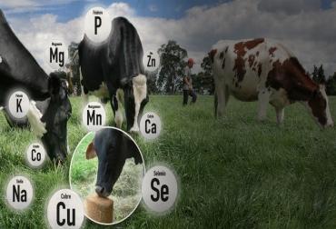Importancia de macrominerales en ganado bovino, macrominerales en ganado, macrominerales vacas, bovinos minerales, importancia de minerales en ganado bovino, minerales producción bovina, macrominerales en producción bovina, calcio, fósforo, sodio, potasio, azufre, cloro, magnesio, CONtexto ganadero, ganaderos colombia, noticias ganaderas colombia