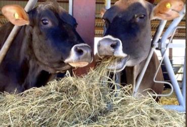 Aminoácidos, balanceo de aminoácidos para dietas de bovinos, dietas para ganadería, nutrientes para gnaado, nutrientes en bovinos, aminoácidos en ganadería, aminoácidos rumiantes, aminoacidos, aminoacidos alimentación ganado, directrices para balanceo de aminoácidos, Contexto ganadero, ganaderos Colombia, noticias ganaderas Colombia