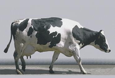 Cojeras no son una sola entidad, cojeras en bovinos, cojeras enfermedad secundaria, enfermedades podales en bovinos, enfermedades pezuñas bovinos, lesiones podales en bovinos, pérdida de productividad de leche debido a cojeras, patologías podales en bovinos, afecciones en pezuñas vacas, Bienestar Animal, manejo y tratamiento de cojeras en el hato lechero, ganadería colombia, noticias ganaderas colombia, CONtexto ganadero