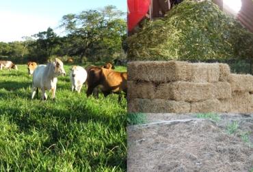 Ganadería, ganadería colombia, noticias ganaderas, noticias ganaderas colombia, CONtexto ganadero, suplementos, pastos, comida para el ganado, alimentación para el ganado, pasturas, pasturas durante el verano, fedegán,