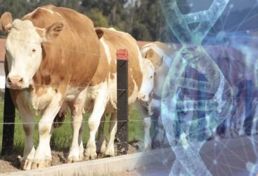Genómica Simmental, selección de mejores toros de Austria y Alemania, mejores machos de Republica Checa e Italia, índice ZAR, información genómica en Colombia, genómica reduce costos de producción, descarte de animales desde el nacimiento, CONtexto ganadero, noticias de ganadería colombiana.